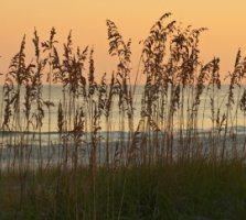 Alabama Gulf Coast Sea Oats