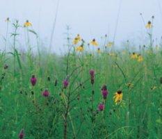Filed of Wildfowers, Illinois prairie