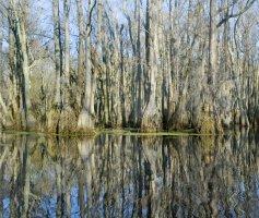 Louisiana Bayou trees